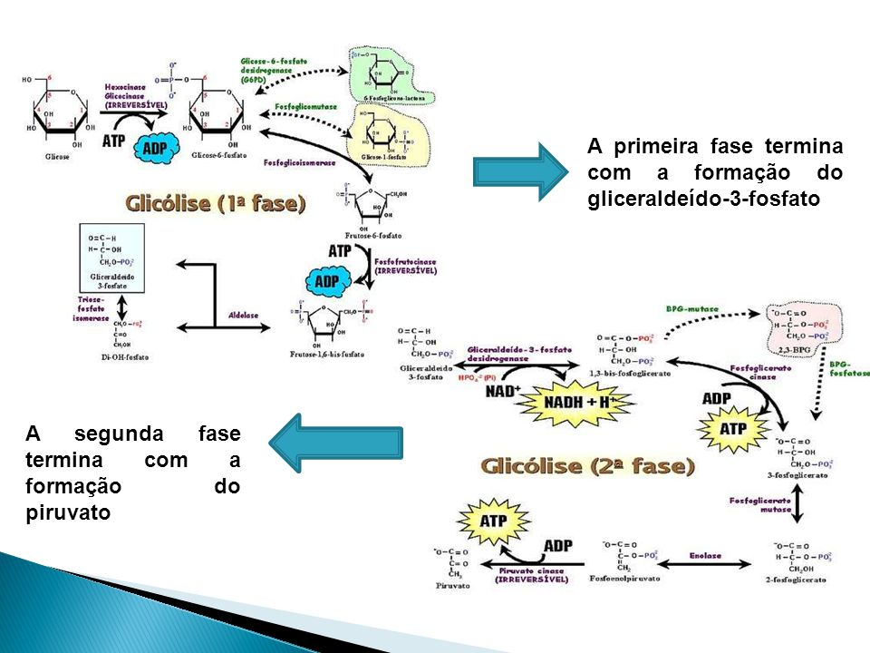 A primeira fase termina com a formação do gliceraldeído-3-fosfato A segunda fase termina com a formação do piruvato