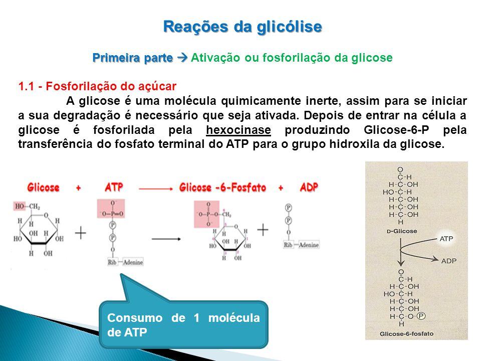 Reações da glicólise Primeira parte Primeira parte Ativação ou fosforilação da glicose 1.1 - Fosforilação do açúcar A glicose é uma molécula quimicamente inerte, assim para se iniciar a sua degradação é necessário que seja ativada.