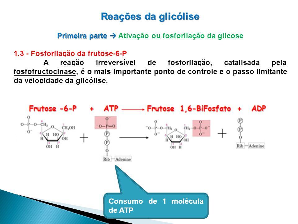 Reações da glicólise Primeira parte Primeira parte Ativação ou fosforilação da glicose 1.3 - Fosforilação da frutose-6-P A reação irreversível de fosforilação, catalisada pela fosfofructocinase, é o mais importante ponto de controle e o passo limitante da velocidade da glicólise.