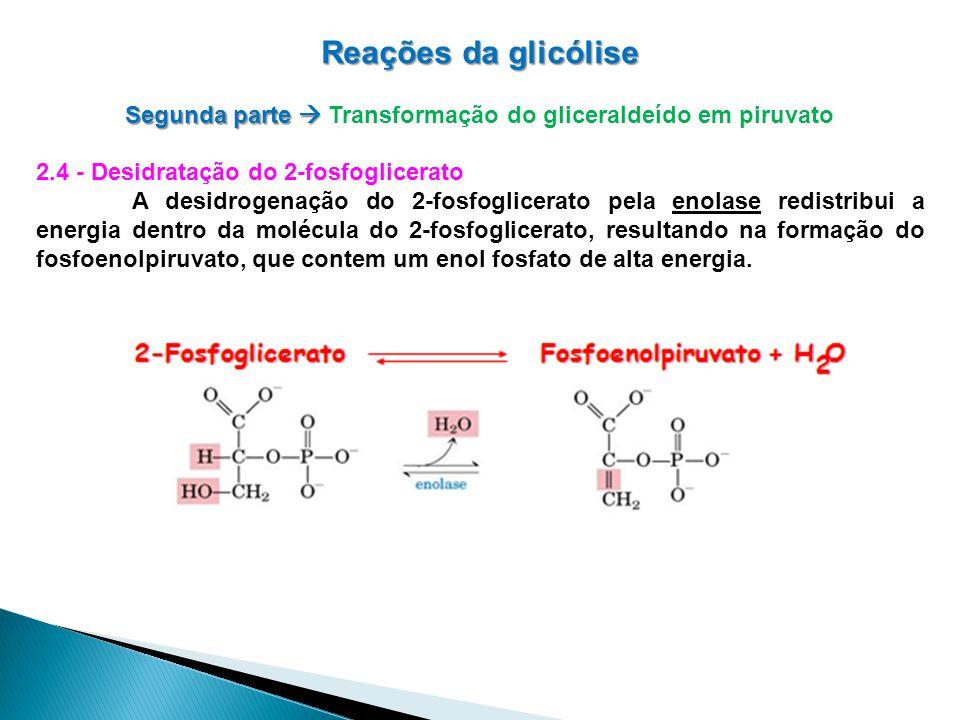 Reações da glicólise Segunda parte Segunda parte Transformação do gliceraldeído em piruvato 2.4 - Desidratação do 2-fosfoglicerato A desidrogenação do 2-fosfoglicerato pela enolase redistribui a energia dentro da molécula do 2-fosfoglicerato, resultando na formação do fosfoenolpiruvato, que contem um enol fosfato de alta energia.