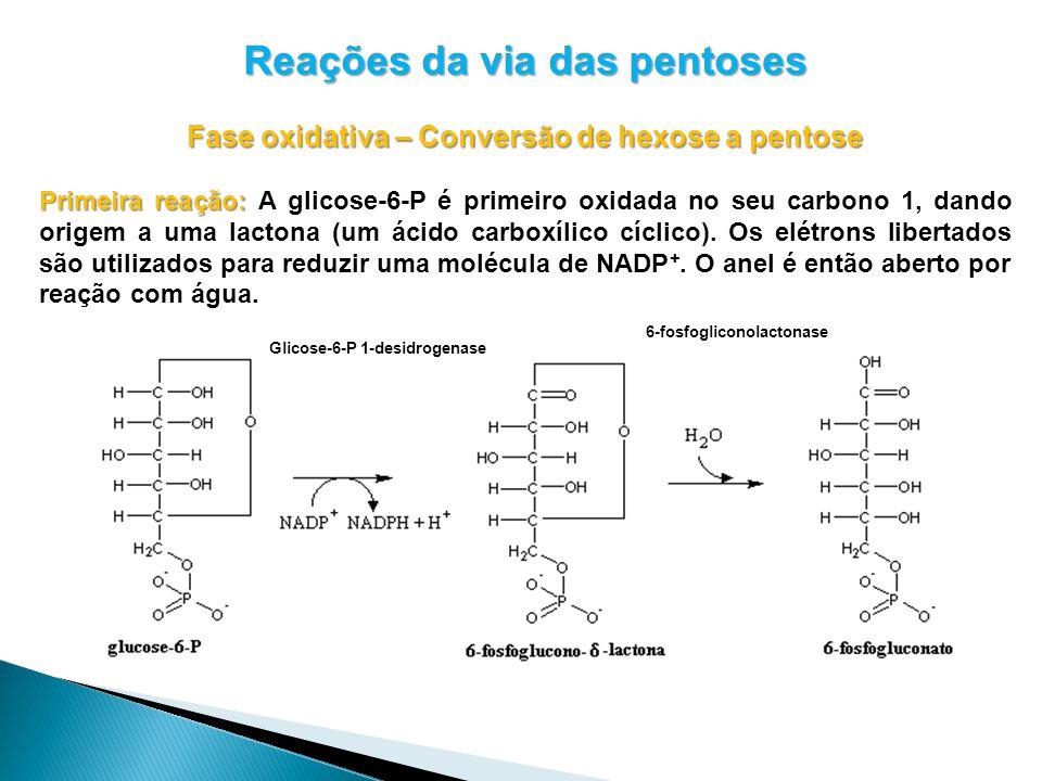 Reações da via das pentoses Fase oxidativa – Conversão de hexose a pentose Primeira reação: Primeira reação: A glicose-6-P é primeiro oxidada no seu carbono 1, dando origem a uma lactona (um ácido carboxílico cíclico).