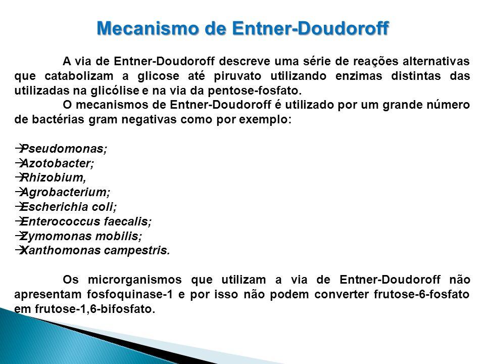 Mecanismo de Entner-Doudoroff A via de Entner-Doudoroff descreve uma série de reações alternativas que catabolizam a glicose até piruvato utilizando e