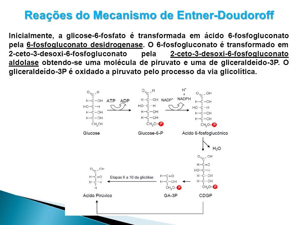 Reações do Mecanismo de Entner-Doudoroff Inicialmente, a glicose-6-fosfato é transformada em ácido 6-fosfogluconato pela 6-fosfogluconato desidrogenas