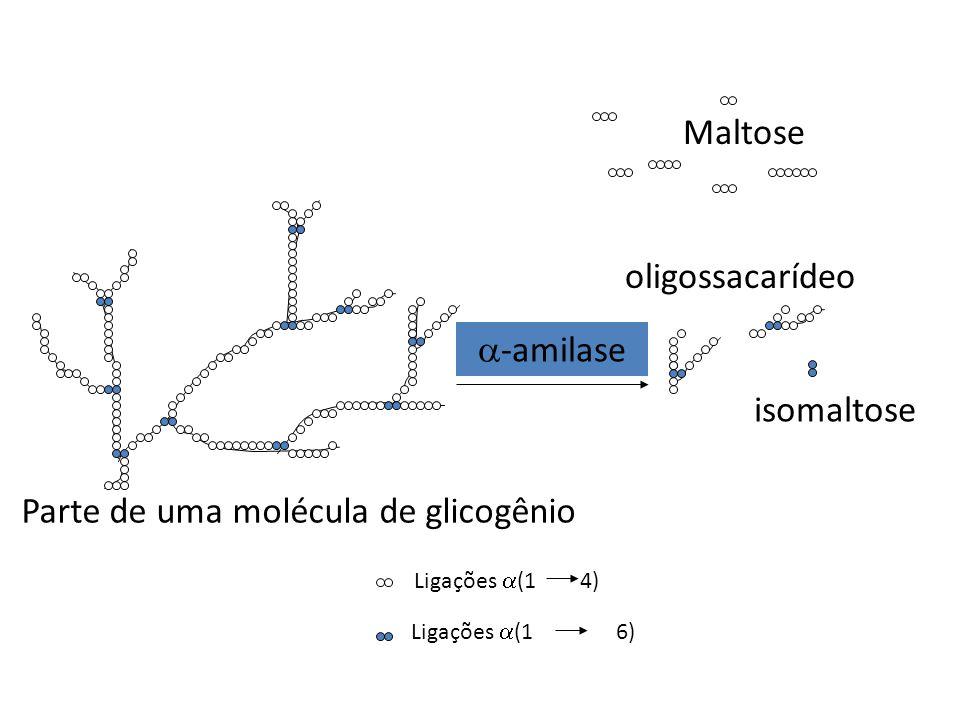 -amilase Maltose Ligações (1 4) Ligações (1 6) Parte de uma molécula de glicogênio oligossacarídeo isomaltose
