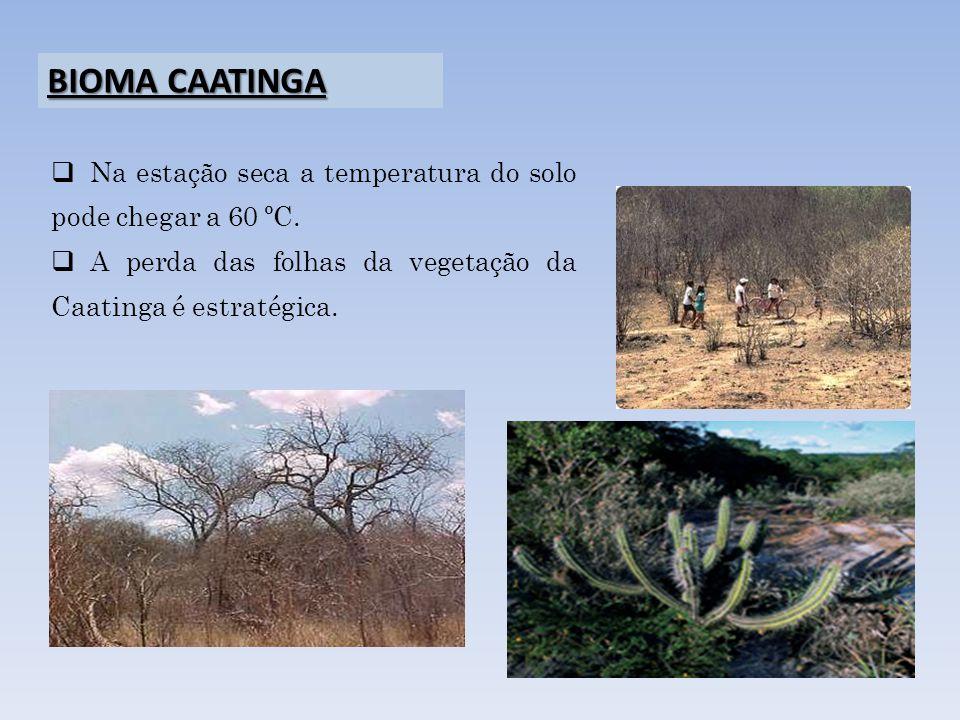 Na estação seca a temperatura do solo pode chegar a 60 ºC. A perda das folhas da vegetação da Caatinga é estratégica. BIOMA CAATINGA