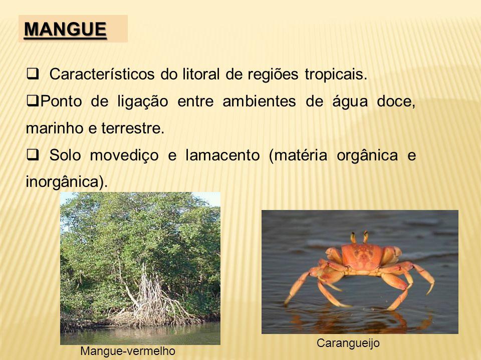 MANGUE Característicos do litoral de regiões tropicais. Ponto de ligação entre ambientes de água doce, marinho e terrestre. Solo movediço e lamacento