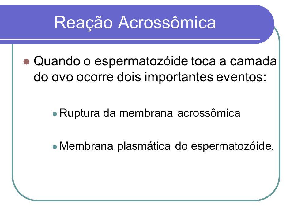 Reação Acrossômica Quando o espermatozóide toca a camada do ovo ocorre dois importantes eventos: Ruptura da membrana acrossômica Membrana plasmática d