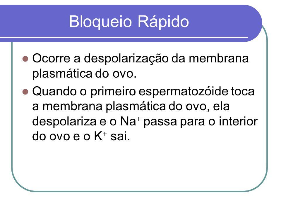 Bloqueio Rápido Ocorre a despolarização da membrana plasmática do ovo. Quando o primeiro espermatozóide toca a membrana plasmática do ovo, ela despola