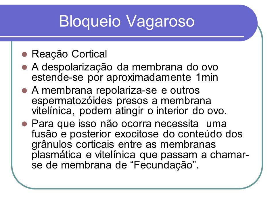 Bloqueio Vagaroso Reação Cortical A despolarização da membrana do ovo estende-se por aproximadamente 1min A membrana repolariza-se e outros espermatoz
