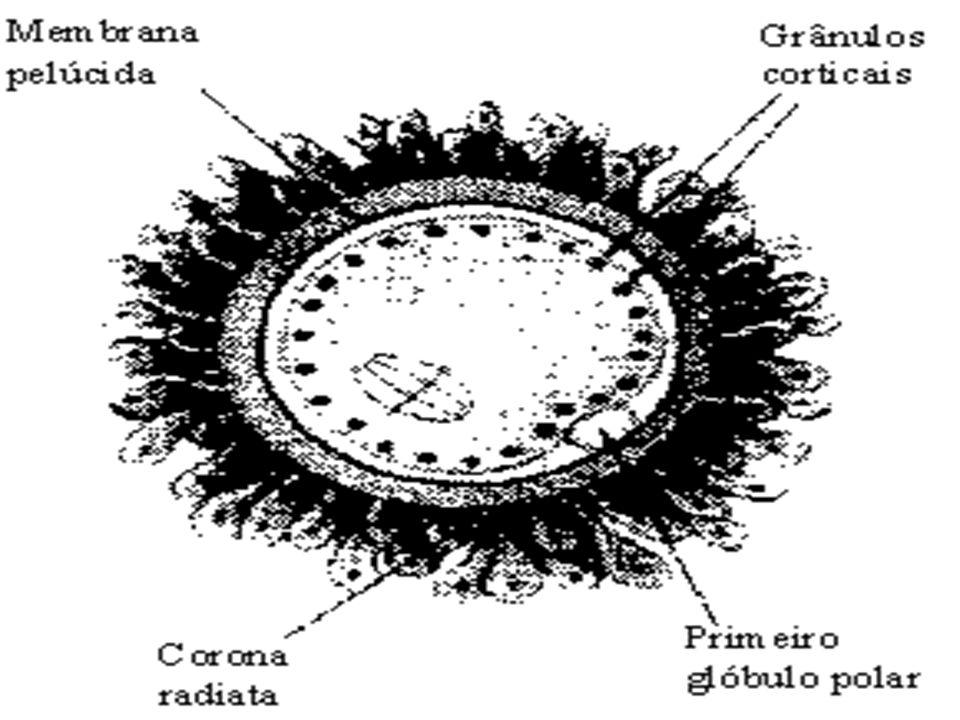 AVES Nas aves ocorre a Polispermia Fisiológica, muitos espermatozóides entram no ovócito, mas apenas um fornecerá o pro núcleo masculino que se unirá ao feminino.
