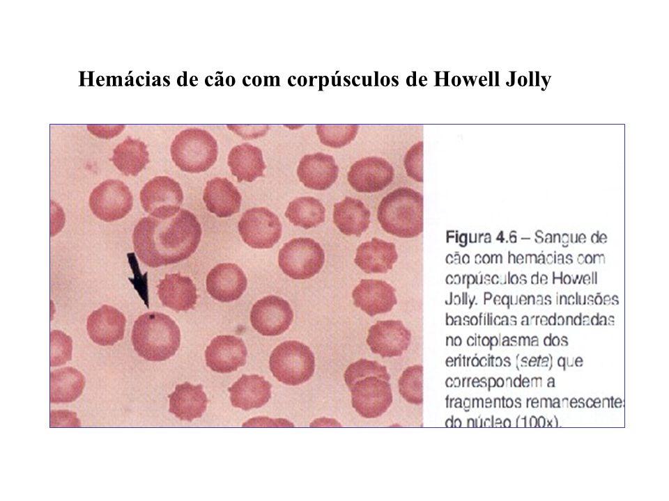 Hemácias de cão com corpúsculos de Howell Jolly