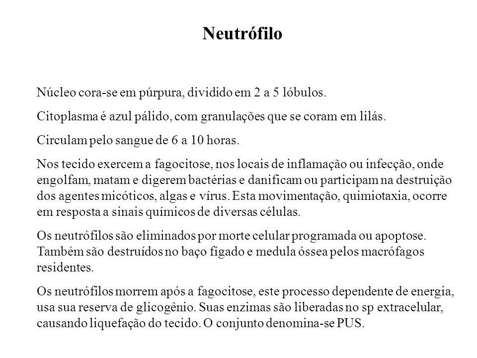 Neutrófilo Núcleo cora-se em púrpura, dividido em 2 a 5 lóbulos. Citoplasma é azul pálido, com granulações que se coram em lilás. Circulam pelo sangue