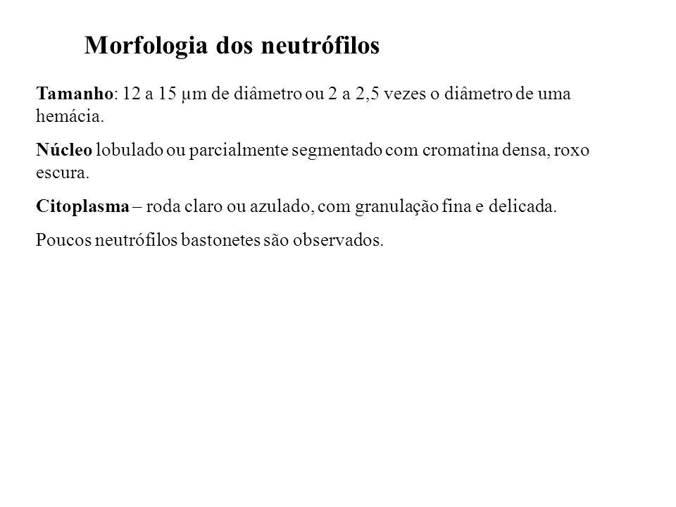 Morfologia dos neutrófilos Tamanho: 12 a 15 µm de diâmetro ou 2 a 2,5 vezes o diâmetro de uma hemácia. Núcleo lobulado ou parcialmente segmentado com