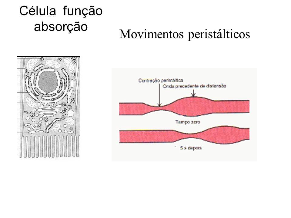 Célula função absorção Movimentos peristálticos