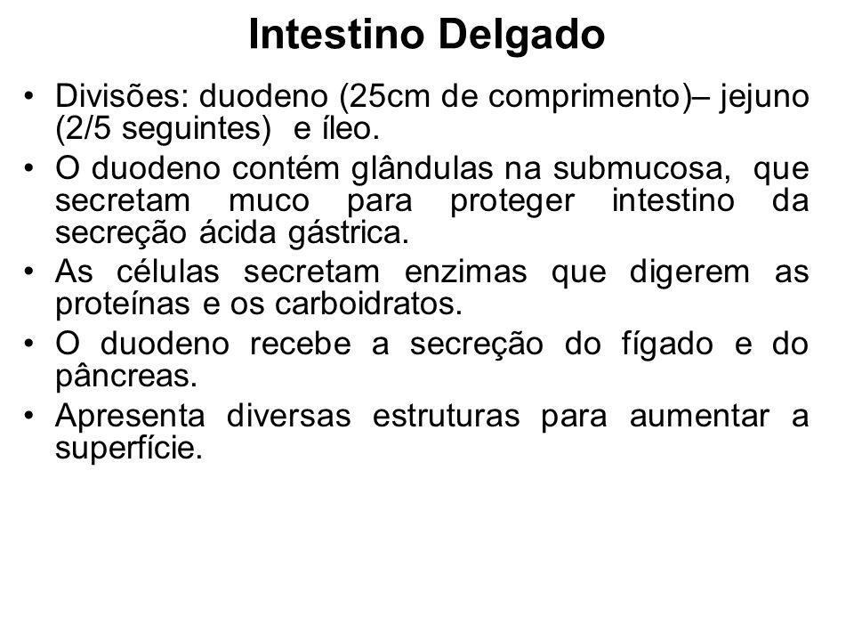 Intestino Delgado Divisões: duodeno (25cm de comprimento)– jejuno (2/5 seguintes) e íleo. O duodeno contém glândulas na submucosa, que secretam muco p