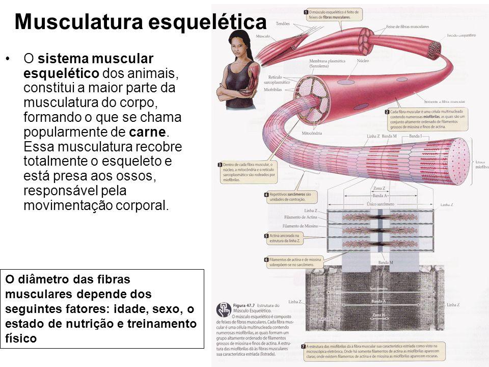 Musculatura esquelética O sistema muscular esquelético dos animais, constitui a maior parte da musculatura do corpo, formando o que se chama popularme