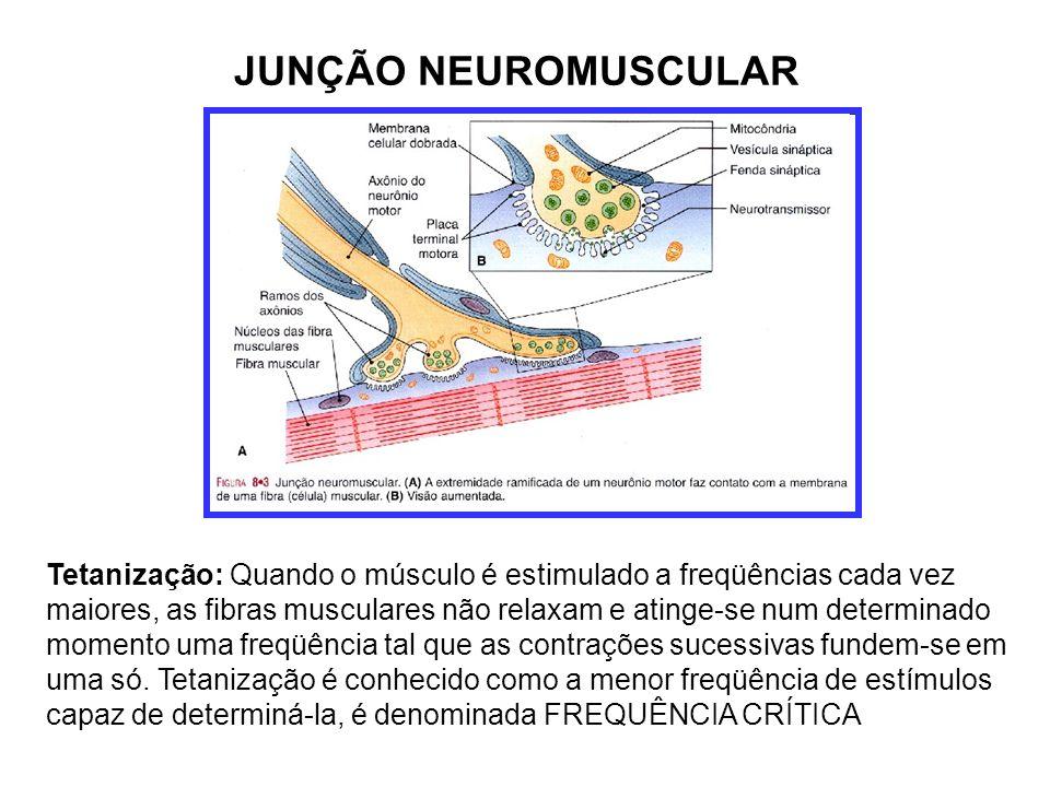 JUNÇÃO NEUROMUSCULAR Tetanização: Quando o músculo é estimulado a freqüências cada vez maiores, as fibras musculares não relaxam e atinge-se num determinado momento uma freqüência tal que as contrações sucessivas fundem-se em uma só.