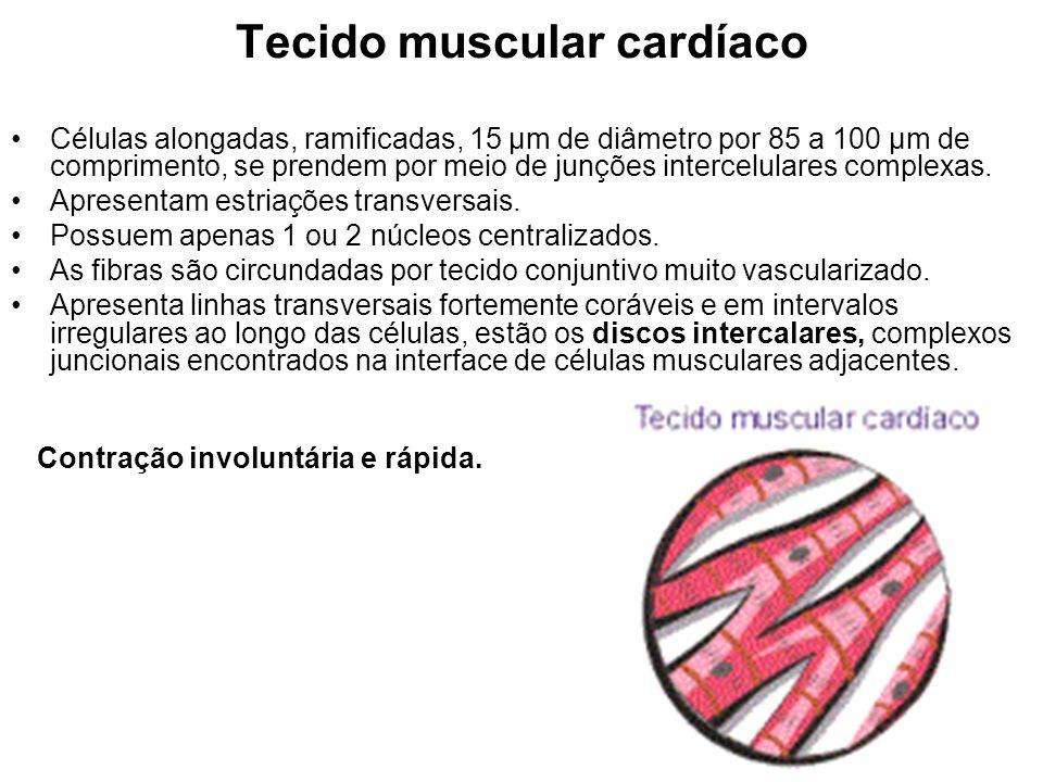Tecido muscular cardíaco Células alongadas, ramificadas, 15 µm de diâmetro por 85 a 100 µm de comprimento, se prendem por meio de junções intercelulares complexas.