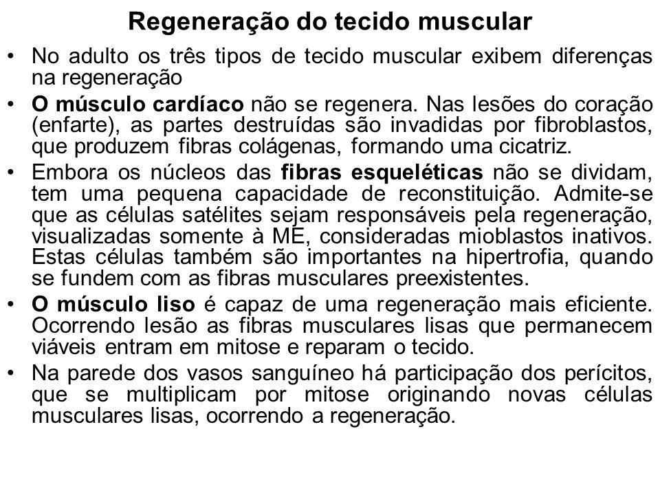 Regeneração do tecido muscular No adulto os três tipos de tecido muscular exibem diferenças na regeneração O músculo cardíaco não se regenera.