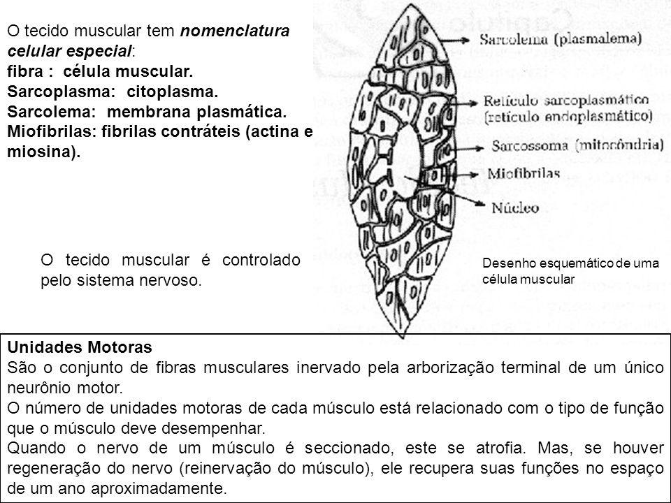 Desenho esquemático de uma célula muscular O tecido muscular tem nomenclatura celular especial: fibra : célula muscular. Sarcoplasma: citoplasma. Sarc