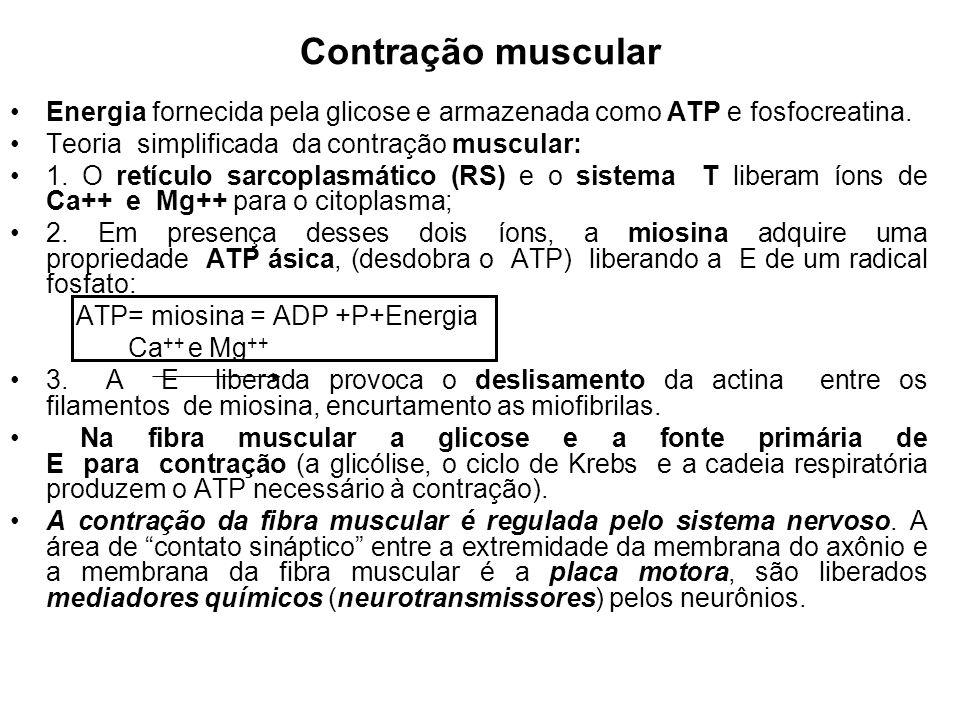 Contração muscular Energia fornecida pela glicose e armazenada como ATP e fosfocreatina. Teoria simplificada da contração muscular: 1. O retículo sarc