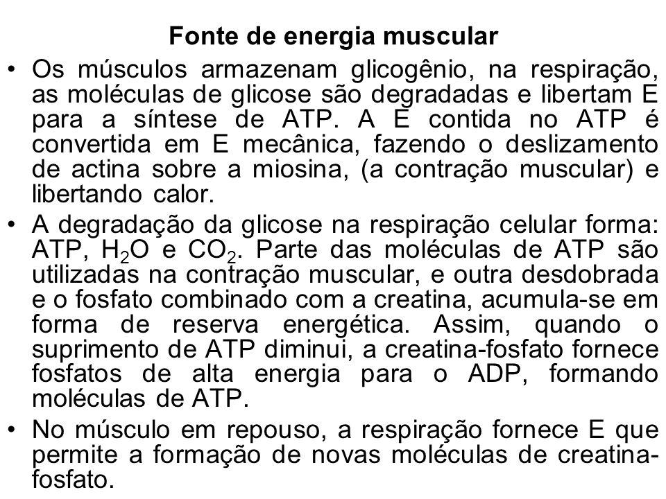 Fonte de energia muscular Os músculos armazenam glicogênio, na respiração, as moléculas de glicose são degradadas e libertam E para a síntese de ATP.