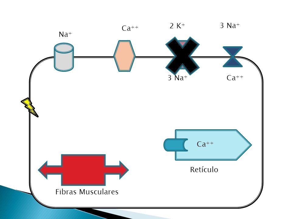 Aumento Ca celular Inotrópico positivo Retarda a condução Cronotrópico negativo