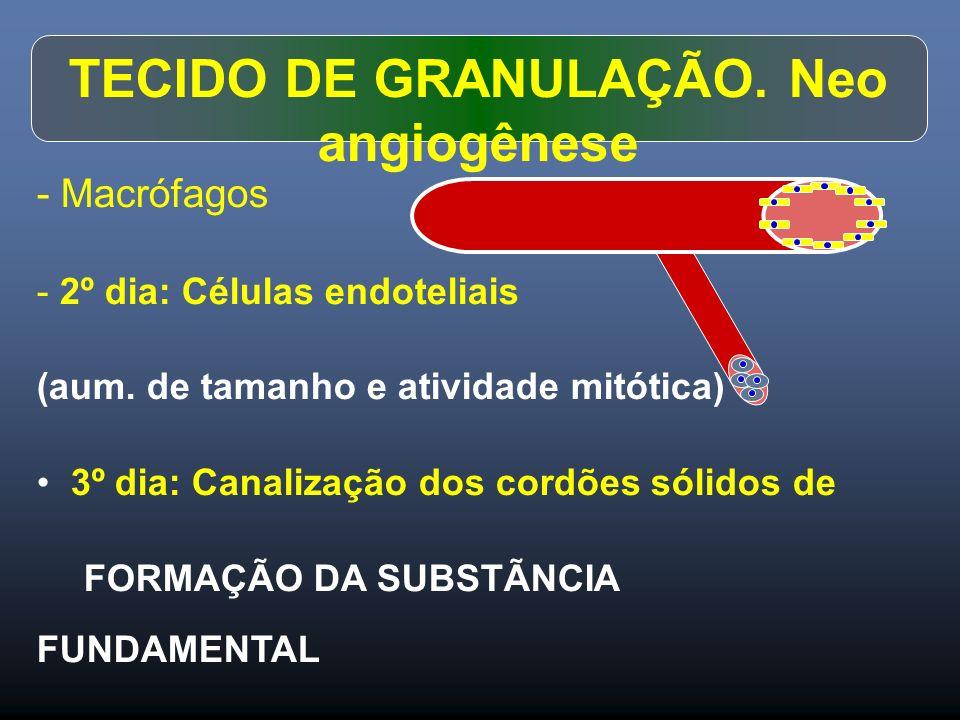 - Macrófagos - 2º dia: Células endoteliais (aum. de tamanho e atividade mitótica) 3º dia: Canalização dos cordões sólidos de FORMAÇÃO DA SUBSTÃNCIA FU
