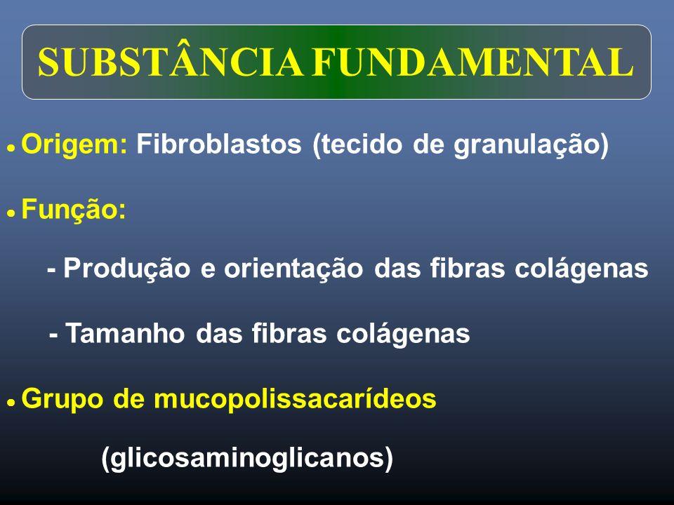 SUBSTÂNCIA FUNDAMENTAL Origem: Fibroblastos (tecido de granulação) Função: - Produção e orientação das fibras colágenas - Tamanho das fibras colágenas