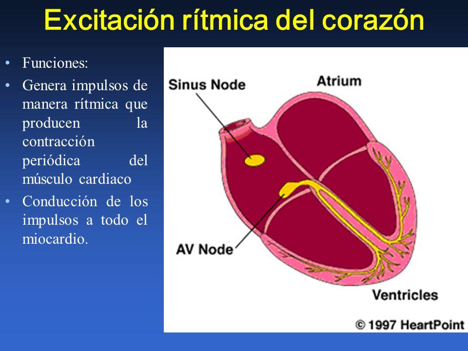 Excitación rítmica del corazón Funciones: Genera impulsos de manera rítmica que producen la contracción periódica del músculo cardiaco Conducción de l