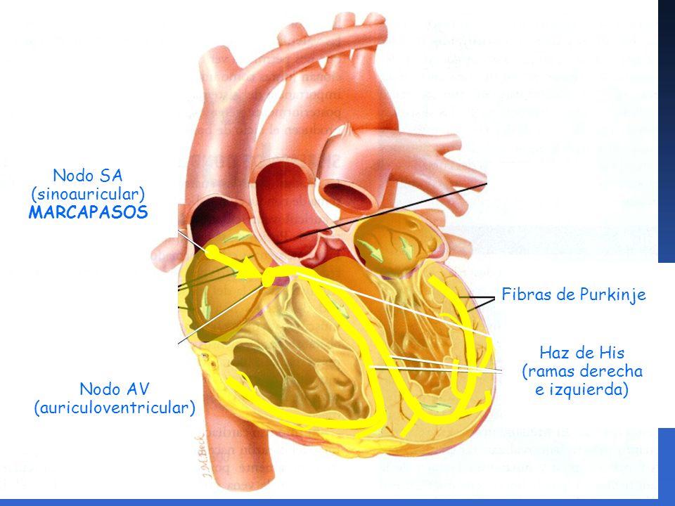 Sistema de conducción FASCICULO ATRIO VENTRICULAR: Cruzan desde el nodo atrioventricular a través del esqueleto cardiaco hasta su parte superior del septo interventricular.
