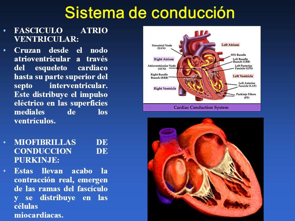Sistema de conducción FASCICULO ATRIO VENTRICULAR: Cruzan desde el nodo atrioventricular a través del esqueleto cardiaco hasta su parte superior del s