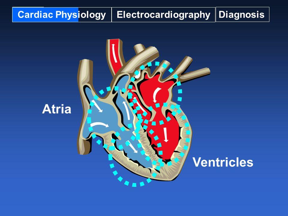 Ciclo Cardíaco A partir do fechamento das válvas AV, existe um fluxo contínuo de sangue das cavas e pulmões.