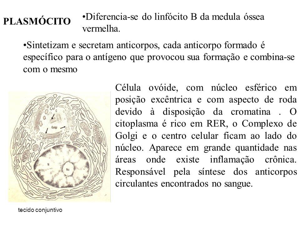 tecido conjuntivo PLASMÓCITO Diferencia-se do linfócito B da medula óssea vermelha. Sintetizam e secretam anticorpos, cada anticorpo formado é específ