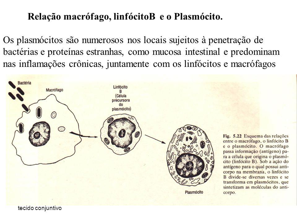 tecido conjuntivo Relação macrófago, linfócitoB e o Plasmócito. Os plasmócitos são numerosos nos locais sujeitos à penetração de bactérias e proteínas
