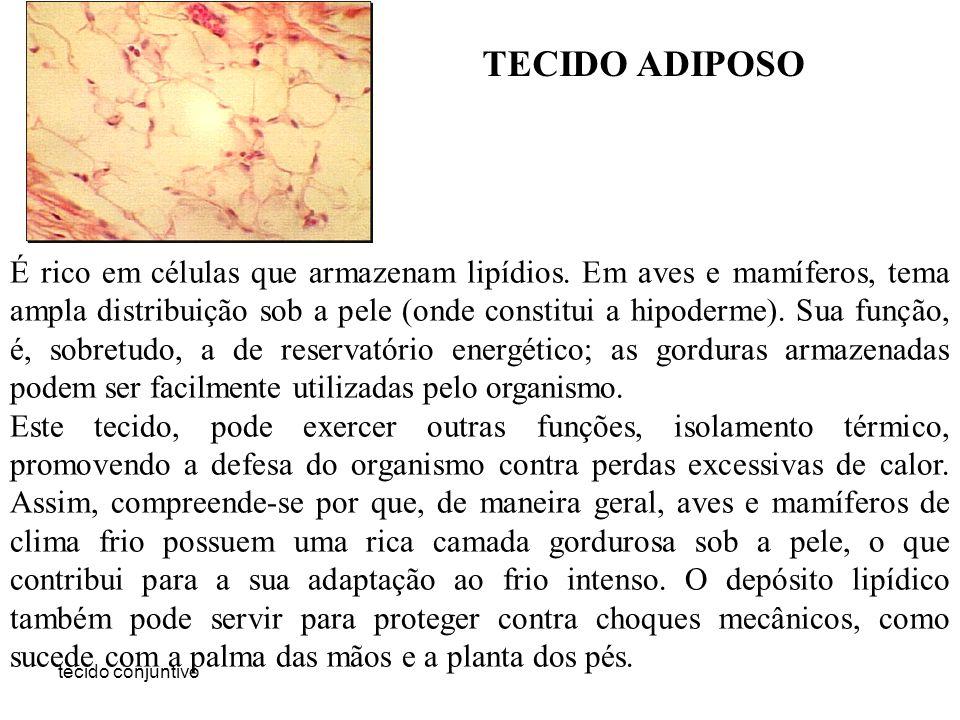 tecido conjuntivo TECIDO ADIPOSO É rico em células que armazenam lipídios. Em aves e mamíferos, tema ampla distribuição sob a pele (onde constitui a h