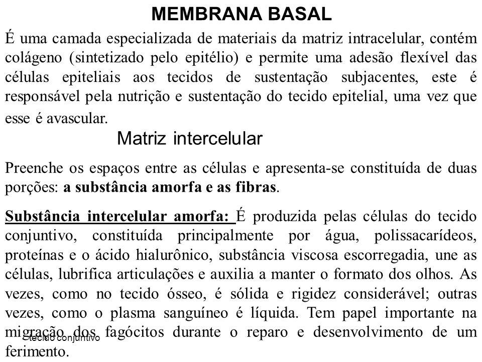 tecido conjuntivo MEMBRANA BASAL É uma camada especializada de materiais da matriz intracelular, contém colágeno (sintetizado pelo epitélio) e permite