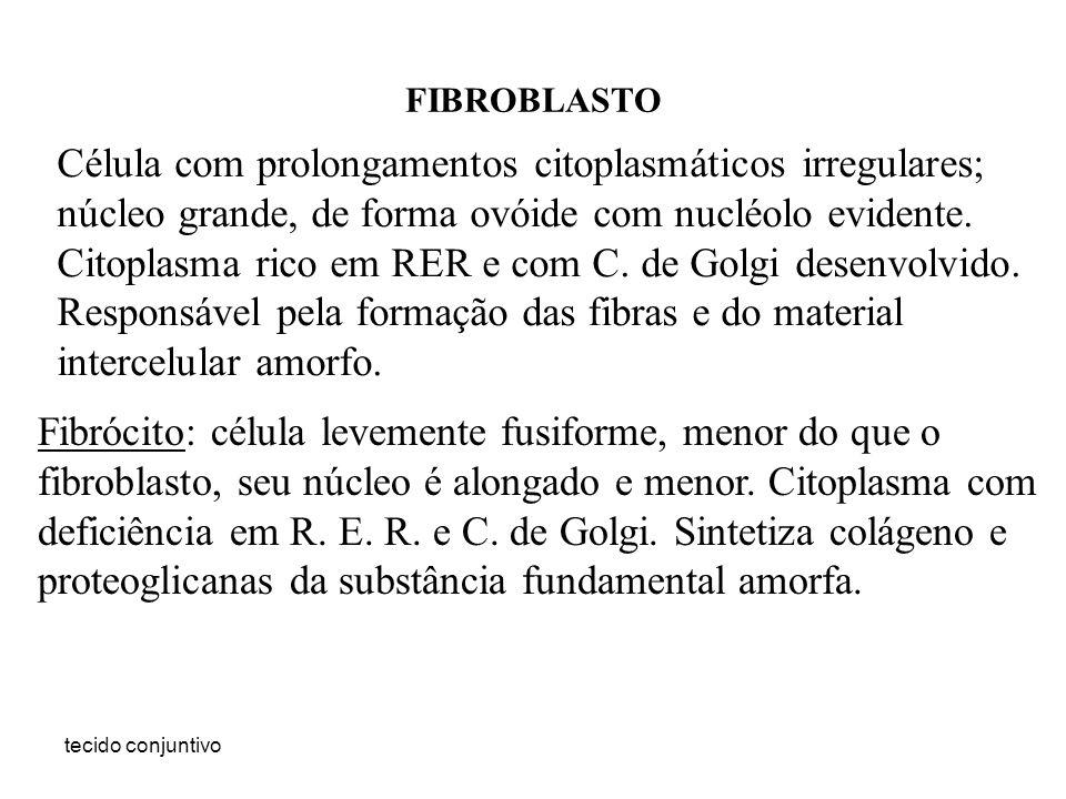 tecido conjuntivo FIBROBLASTO Célula com prolongamentos citoplasmáticos irregulares; núcleo grande, de forma ovóide com nucléolo evidente. Citoplasma