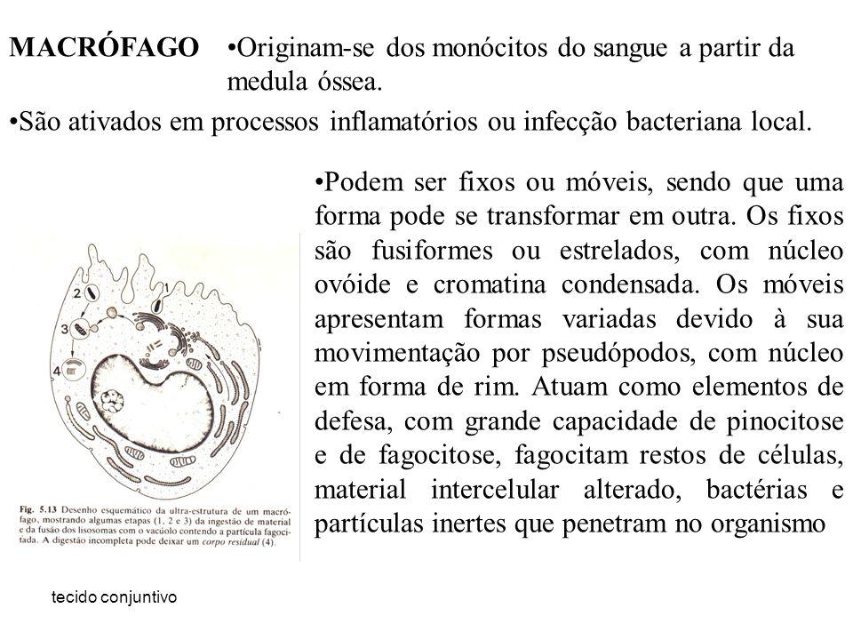 tecido conjuntivo Originam-se dos monócitos do sangue a partir da medula óssea. São ativados em processos inflamatórios ou infecção bacteriana local.