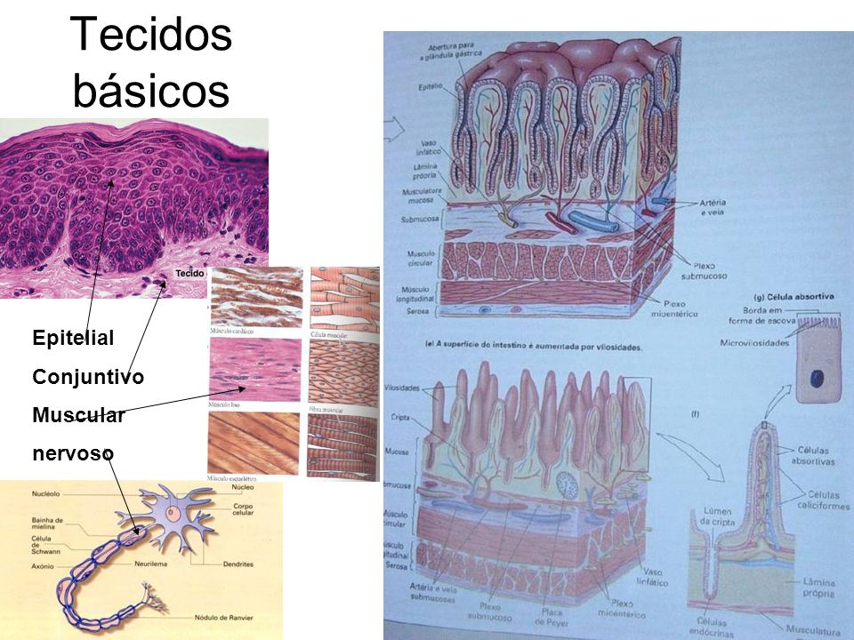 Tecidos básicos Epitelial Conjuntivo Muscular nervoso