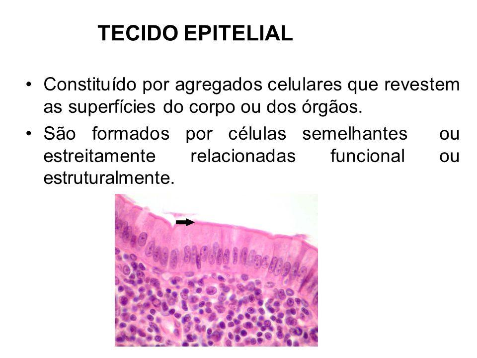 TECIDO EPITELIAL Constituído por agregados celulares que revestem as superfícies do corpo ou dos órgãos. São formados por células semelhantes ou estre