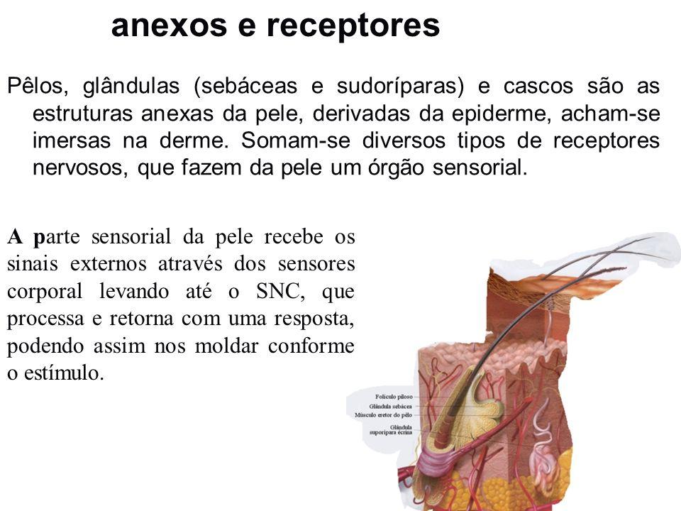 anexos e receptores Pêlos, glândulas (sebáceas e sudoríparas) e cascos são as estruturas anexas da pele, derivadas da epiderme, acham-se imersas na de