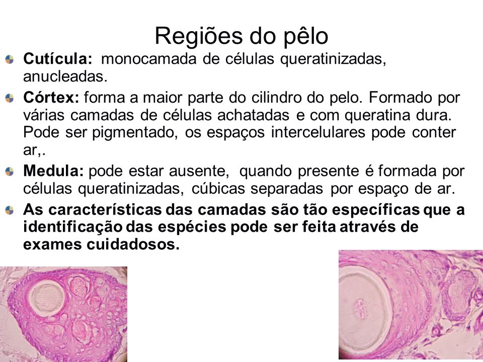 Regiões do pêlo Cutícula: monocamada de células queratinizadas, anucleadas. Córtex: forma a maior parte do cilindro do pelo. Formado por várias camada
