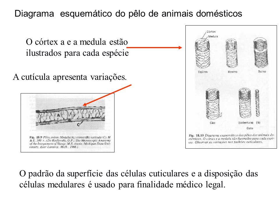 Diagrama esquemático do pêlo de animais domésticos O córtex a e a medula estão ilustrados para cada espécie A cutícula apresenta variações. O padrão d