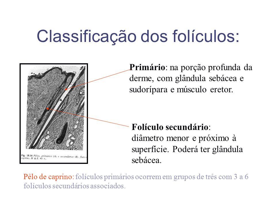 Classificação dos folículos: Primário: na porção profunda da derme, com glândula sebácea e sudorípara e músculo eretor. Folículo secundário: diâmetro