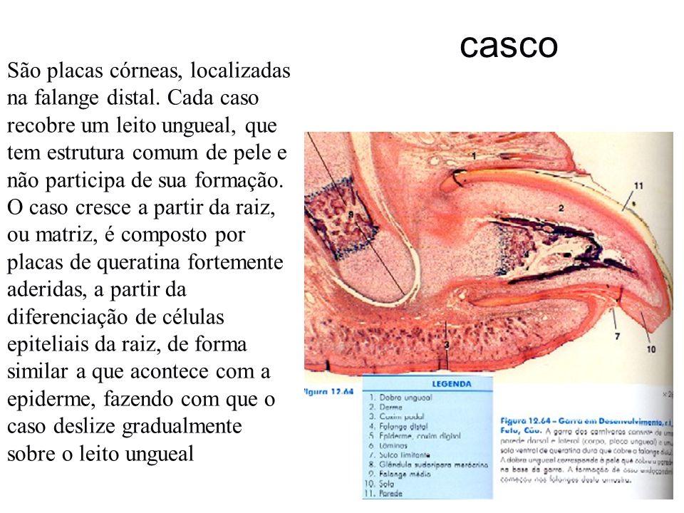 casco São placas córneas, localizadas na falange distal. Cada caso recobre um leito ungueal, que tem estrutura comum de pele e não participa de sua fo