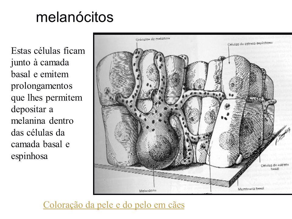 melanócitos Estas células ficam junto à camada basal e emitem prolongamentos que lhes permitem depositar a melanina dentro das células da camada basal