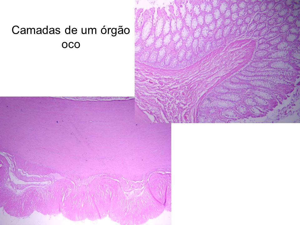 Camadas de um órgão oco