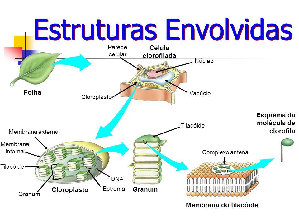 Célula clorofilada Membrana do tilacóide Esquema da molécula de clorofila Folha Granum Parede celular Cloroplasto Membrana externa Membrana interna Ti