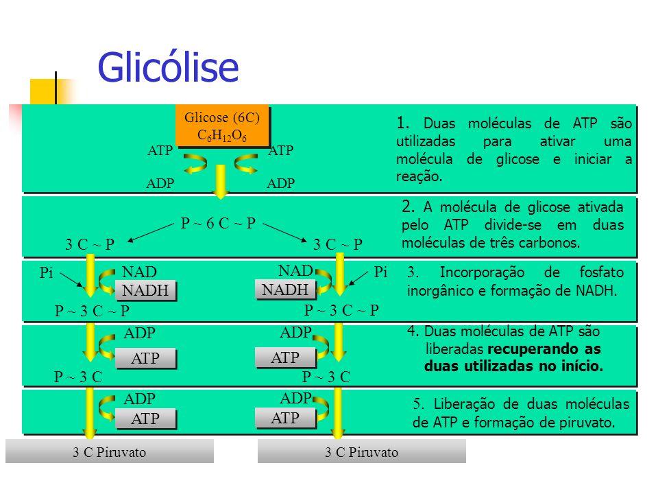 P ~ 6 C ~ P 3 C Piruvato Glicólise Glicose (6C) C 6 H 12 O 6 ADP ATP ADP ATP 1. Duas moléculas de ATP são utilizadas para ativar uma molécula de glico